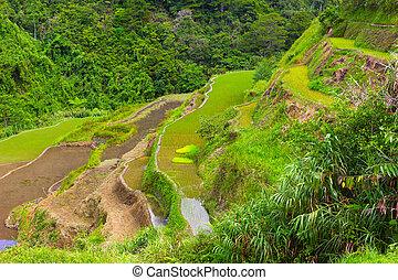 arroz, filipinas., acodado, terrazas, campos
