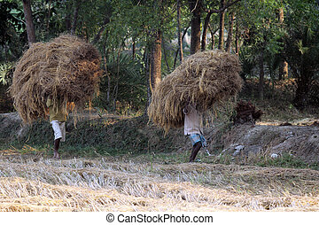 arroz, granja, oeste, India, bengala, lleva, granjero,...