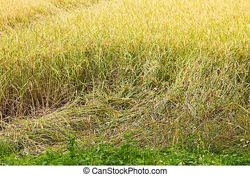 arroz, planta, queda baixo, because, de, forte, vento