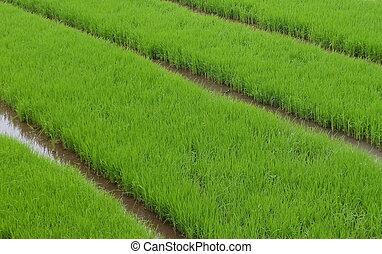 arroz verde, fields., este, onde, a, de, arroz, plantas, é, crescer, de, sementes, antes de, sendo, movimento, para, a, a, real, plantar, zona, quando, a, idade, é, right., este, quadro, levado, em, oeste, java, indonesia.