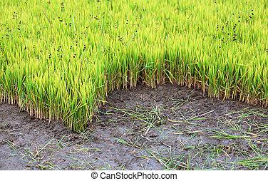arroz verde, seedlings