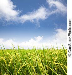 arrozal, campo del arroz, con, nube, plano de fondo