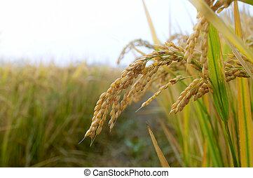 arrozal, en, otoño