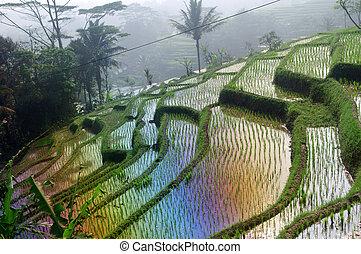 arrozales, indonesia, terraza, java