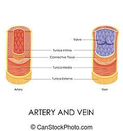 artère, veine