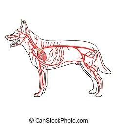 artériel, circulatoire, vecteur, chien, système