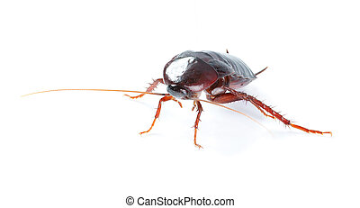 art Cockroach bug isolated on white background