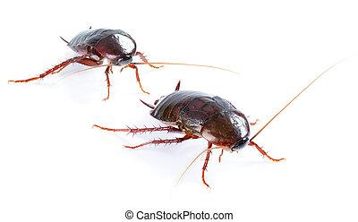 art couple Cockroach bug  isolated on white background