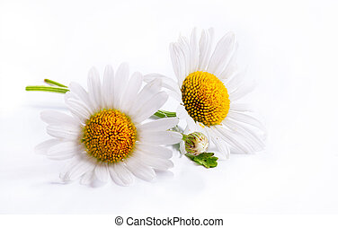 art daisies spring white flower isolated on white background...