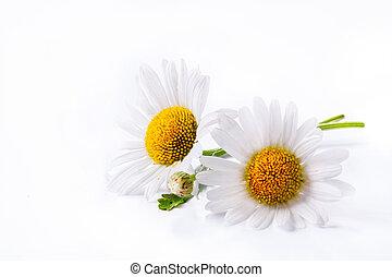 art daisies summer  white flower isolated on white background