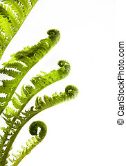 art development ( growing leaves of spring fern on a white background )
