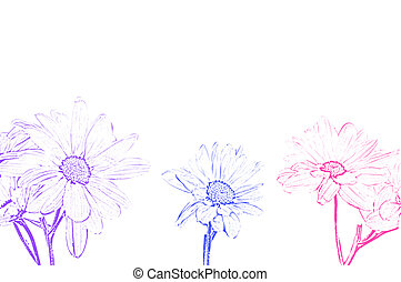 Art Illustration Shasta Moon Daisy - (Leucanthemum vulgare,) on a white background.