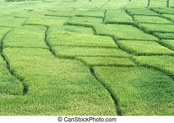 Art of rice field in Mae Klang Luang Village, Thailand