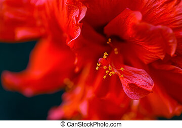 Art photography of blooming red Hibiscus or mallow. Shallow depth of field. Toned image. Copy space.