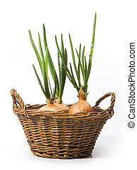 art spring onions growing in the basket