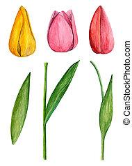 arte, clip, tulips, aquarela, flores mola