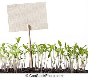 arte, seedlings, de, tomate, e, ponteiro, classe
