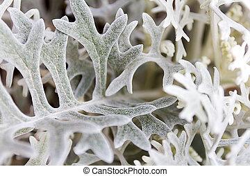 absinthe wormwood close up - Artemisia absinthium , absinthe...