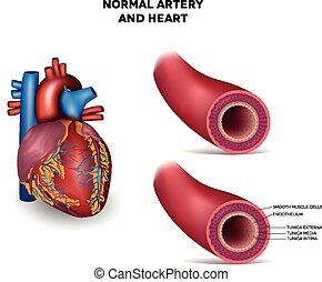 arteria, corazón