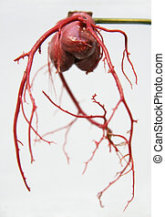 arterias, 2, coronario