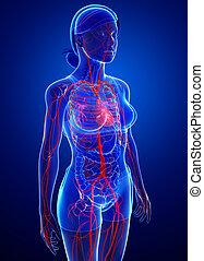 arterias, hembra, ilustraciones