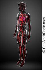 arterieel, mannelijke , systeem