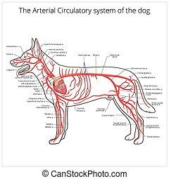 arteriell, zirkulierend, vektor, hund, system