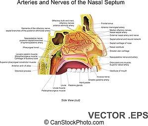 arterierne, og, nerver, i, den, næse, septum