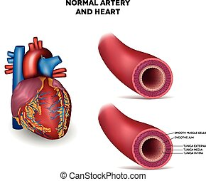 Artery and heart - Healthy human elastic artery, detailed...