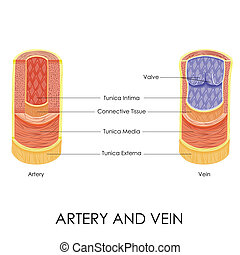 Artery and Vein - vector illustration of diagram of artery...