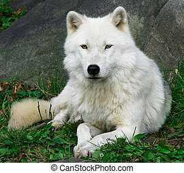 Artic Wolf 2 - This is an Artic Wolf resting on an fall day ...