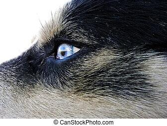 Artic wolfhound dog eye - Artic wolfhound blue eye detail...