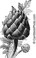 Artichoke, globe artichoke or Cynara cardunculus old...