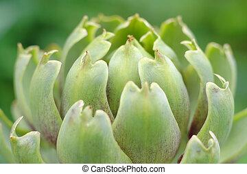close-up Globe Artichoke (Cynara cardunculus) inflorescence