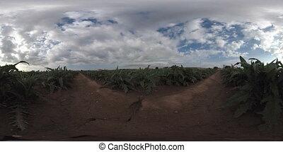 Artichoke plantation equirrectangular 360 degree time lapse...