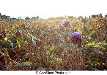Artichokes plantation field in southern Spain