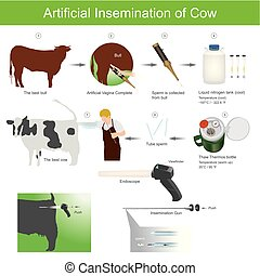 Artificial insemination is a very common practice in the agriculture world. It involves using collected semen to breed an versus using a bull to provide the breeding services. The semen is kept frozen in straws. livestock farm. Veterinary Care Illustration.