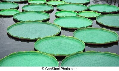 artificial water Lily leaves in water of New Holland  pond
