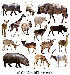 artiodactyla, emlős, állatok, felett, white háttér