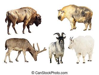 artiodactyla, emlős, állatok