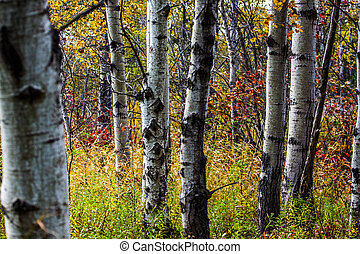 artistic fall view of trunks of birch trees in autumn