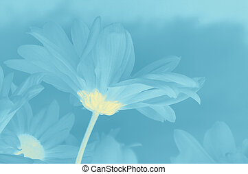 Soft tinted image, the side view of the petals of a white moon daisy (Leucanthemum vulgare,) on a blue background.
