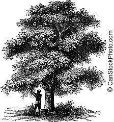 Artocarpe, Breadfruit or Artocarpus altilis old engraving....
