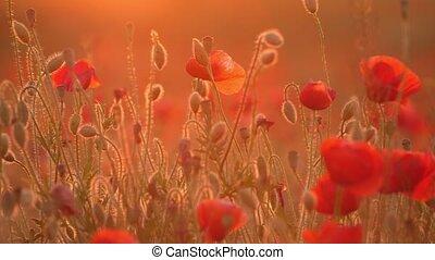 Arty red poppies growing in a horizonless field in Ukraine...