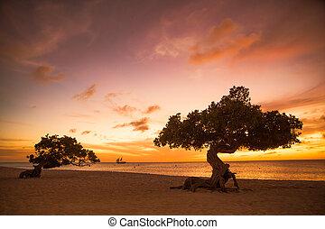 aruba , divi , δέντρα
