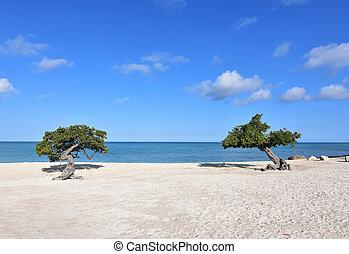Aruba divi divi trees on a white sand beach.
