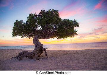 Aruba Tree Beach - Divi Divi tree on the beach of Aruba at ...
