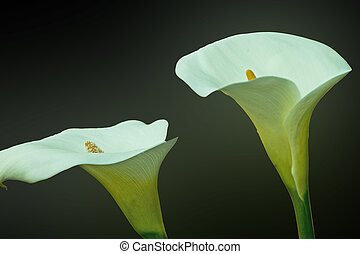 Arum lillies, cala - two flowers cala, isolated on a dark ...