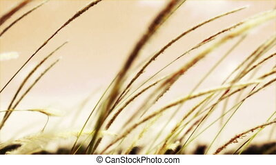 arundinacea, -, champ, lalang, imperata