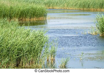 Arundo donax reed in blue water, Camargue national park, France